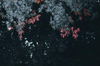 紅く色づく葉の写真
