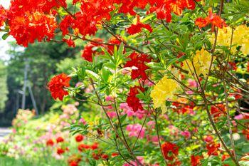 色鮮やかなアザレア(西洋ツツジ)の写真