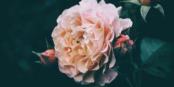 開花する薔薇とつぼみの写真