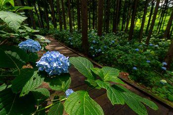 紫陽花と木道(アジサイ公園)の写真