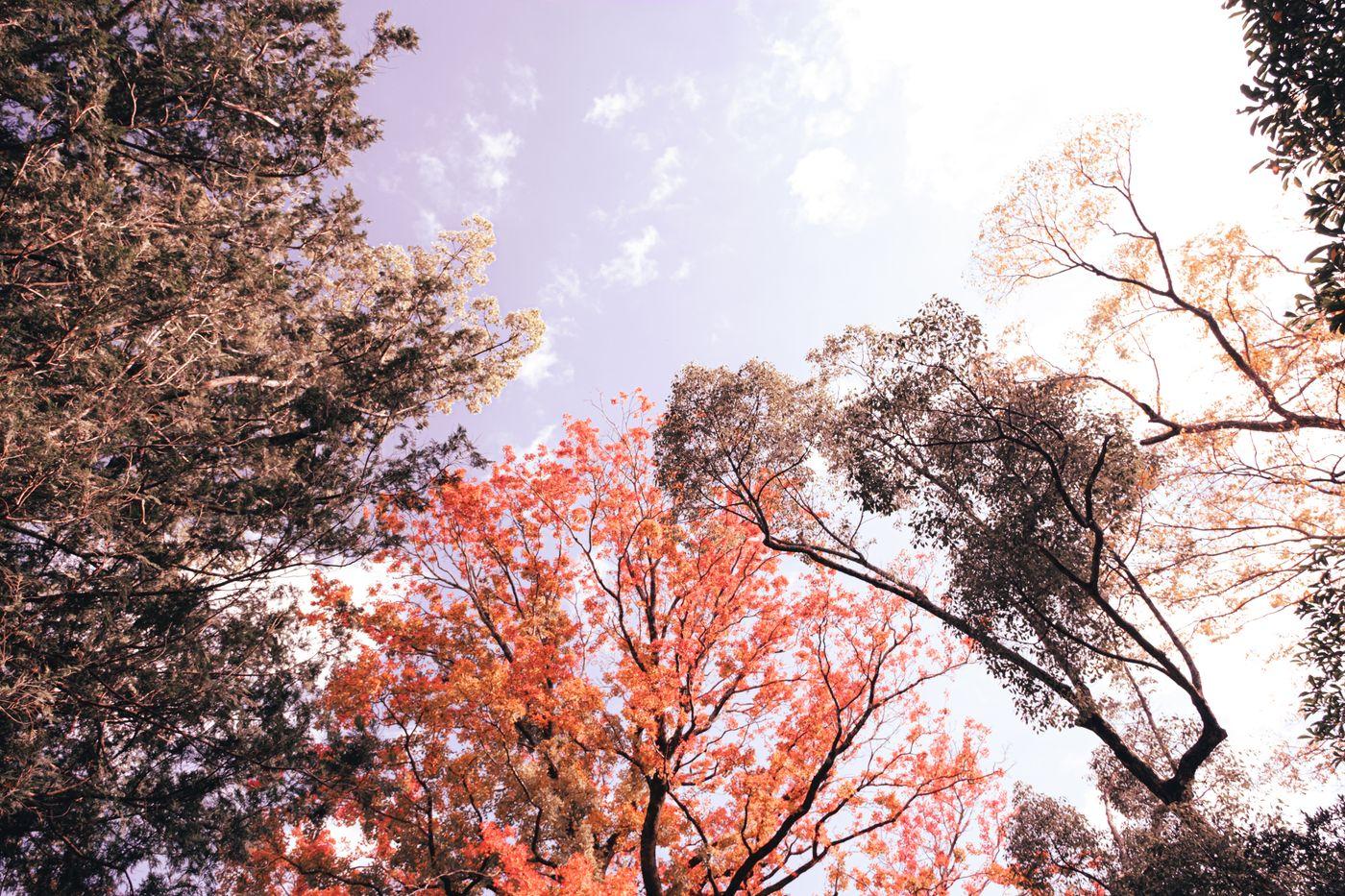 紅葉した木々と青空の写真