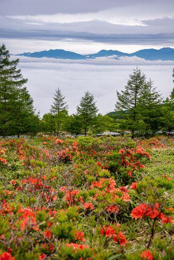 美ヶ原の雲海とレンゲツツジの写真