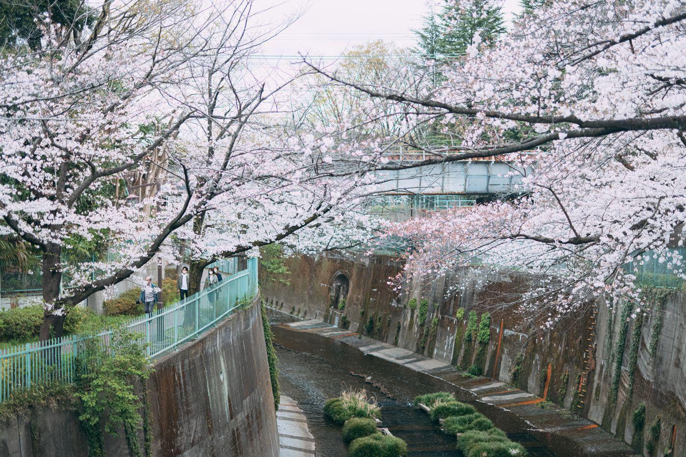石神井川の桜の写真