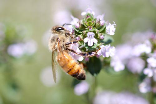 ハーブから吸蜜するセイヨウミツバチの写真