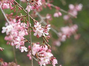 枝垂れ桜(シダレザクラ)の写真