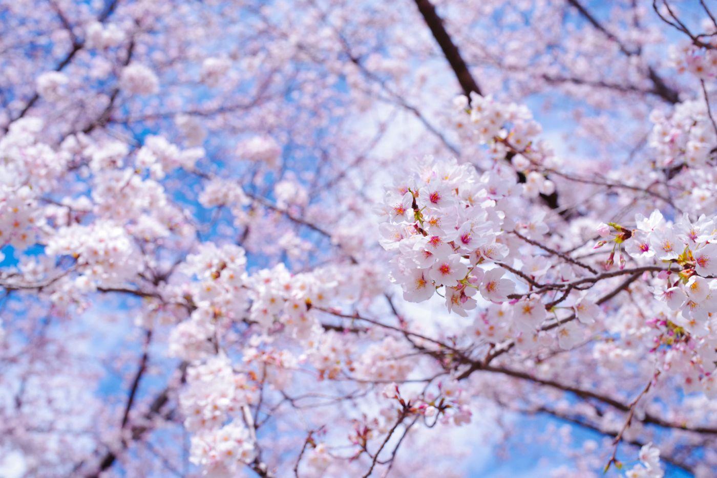 春晴れの空の下で気持ちよく咲く咲きたてのソメイヨシノの写真