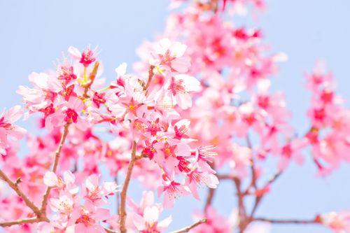 暖かな日差しと桜の写真
