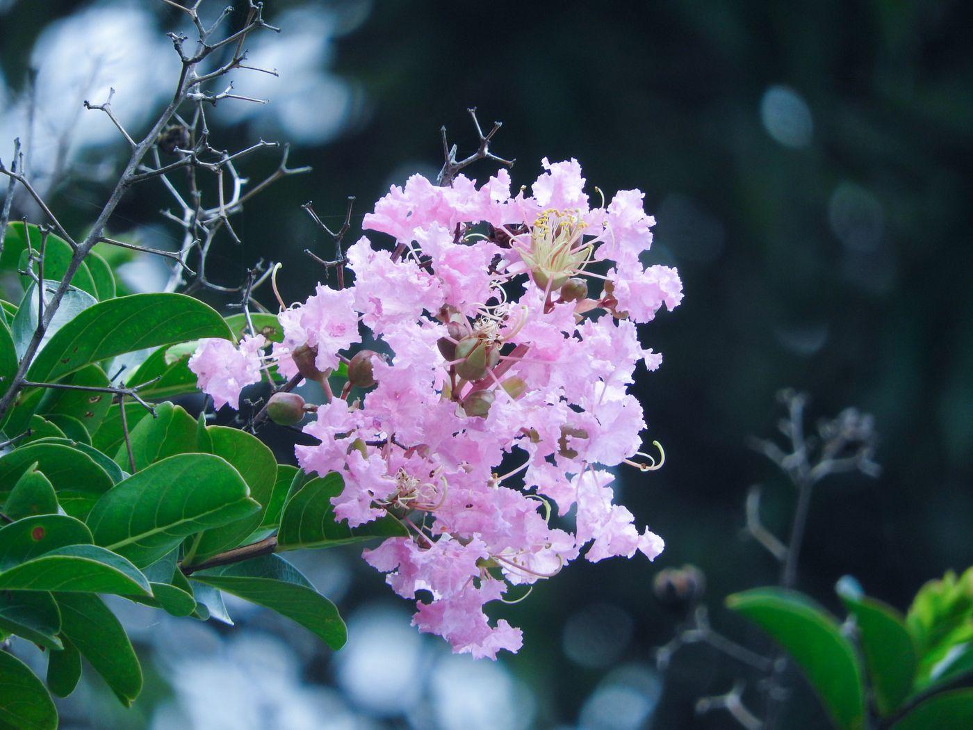 淡いピンク色の縮れた花弁(サルスベリ)の写真