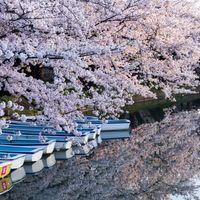 弘前公園の桜とボートの写真