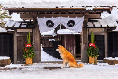 雪の中、ご主人の帰りを待つ角館武家屋敷前の秋田犬の写真