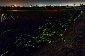 郊外の小川でホタル舞うの写真