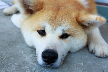 怠惰な秋田犬の写真