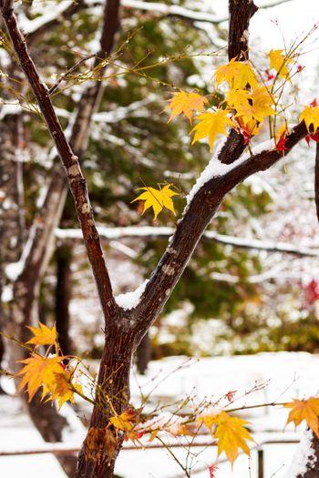 雪と黄葉の写真