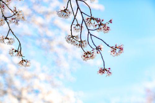 サクラの春の写真