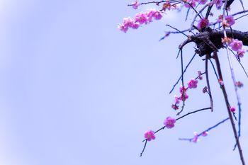 開花した梅の花の写真