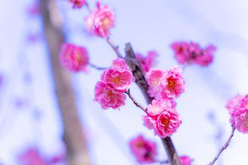 開花するバラ科の花の写真