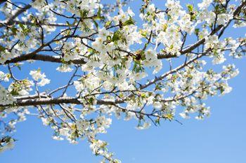 白い花の桜(葉桜)の写真