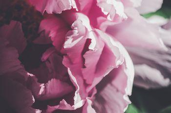 牡丹の花びらの写真