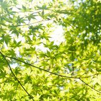 光に透ける葉の写真