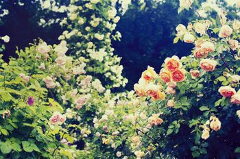 秘密の花園(バラ)の写真