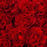 赤いバラのテクスチャーの写真