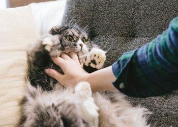 猫ドン!されてるオス猫(スコティッシュフォールド)の写真