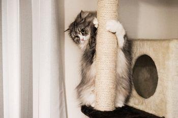 猫タワーにしがみつくメス猫の写真