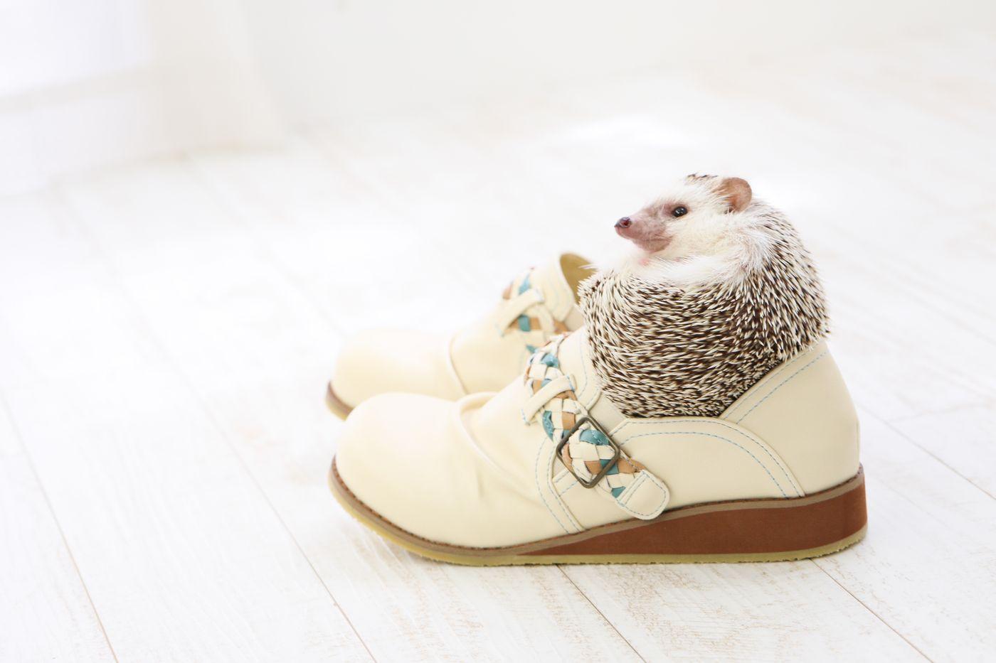 人間の靴にはまり込むハリネズミの写真