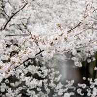 8部咲きの桜の写真
