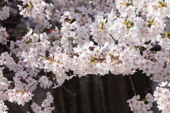 河川の桜の木の写真
