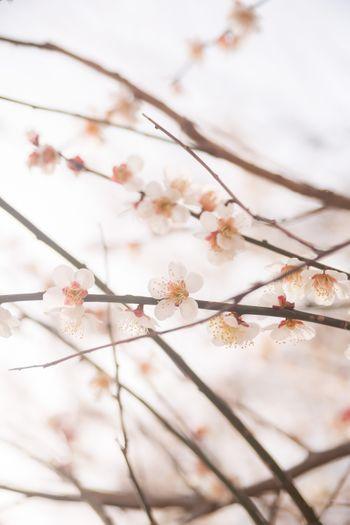 梅の花と春の写真