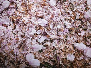 枯れた桜の花びらの写真