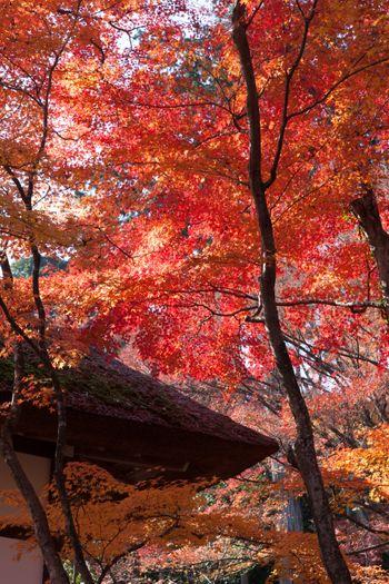 かやぶき屋根と紅葉の写真