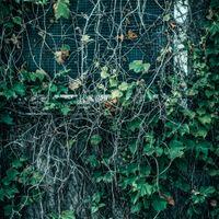 蔦が生い茂る窓の写真