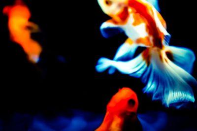 金魚の舞の写真