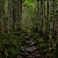 苔生す原生林の石の登山道の写真