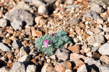 開花した高山植物(コマクサ)の写真