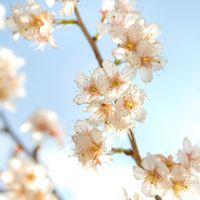 ほんわかした桜の写真