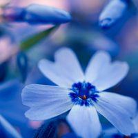 青い秋桜の写真