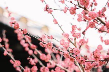 花開く梅の花の写真