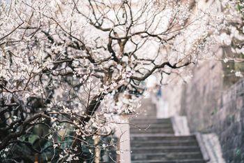 階段脇に彩る梅の花の写真