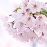 光が差し込むピンクの桜の写真