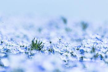 ネモフィラの花の写真