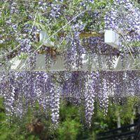 フジ(藤)の花の写真