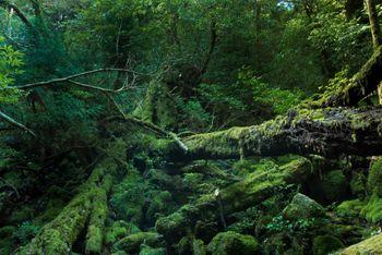 屋久島の折れた巨木とコケの写真