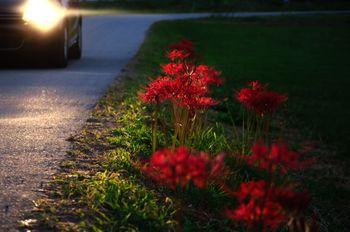 ヘッドライトに照らされる彼岸花の写真