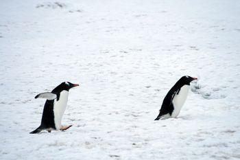 よちよちジェンツーペンギンの写真