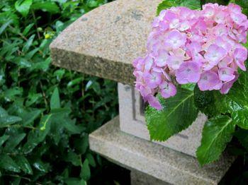 薄いピンクの紫陽花と灯籠の写真