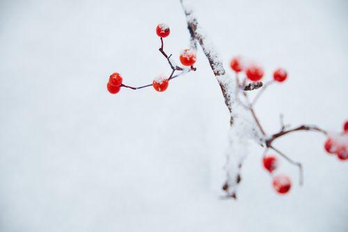 雪とナナカマドの写真