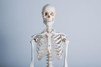 人体骨格模型の上半身の写真